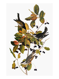 Audubon: Warbler