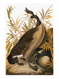 Audubon: Goose