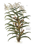 Turkish Corn  1735