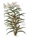 Turkish Corn  1735