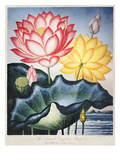 Thornton: Lotus Flower