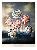 Thornton: Carnations