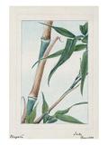 Japan: Bamboo  C1870S