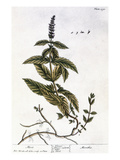 Mint Plant  1735