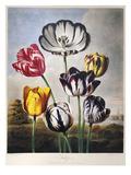 Thornton: Tulips
