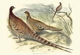 Pheasant Varieties VI