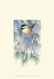 Chickadee in White Pine