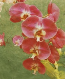 Island Orchid I