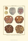 Sand Dollars II