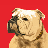 The British Bulldog  Red