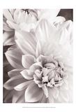 Black and White Dahlias II Reproduction d'art par Christine Zalewski