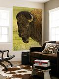 Bison Bull at the National Bison Range  Montana  USA