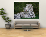 White Phase of the Bengal Tiger