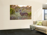White-Tailed Deer in Grassland  Texas  USA