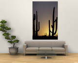 Saguaro Cacti  Organ Pipe National Monument  Arizona  USA