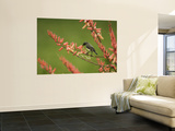 Immature Beautiful Sunbird (Cinnyris Pulchella) Feeding from Aloe
