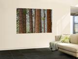 Pine Tree Trunks