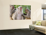 Macaques Monkeys (Rhesus Macaques) Grooming  Dhikala