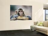 Monkey (Rhesus Macaque) at Monkey Temple  Galta