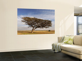 Acacia Raddiana Tree in the Negev Desert