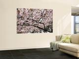 Cherry Blossums (Sakura) Along Cherry Blossum Street in Shizunai