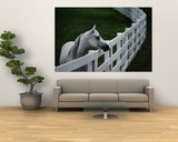 White Horse Staring over a Wooden Fence