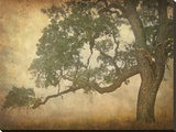 Oak in Fog  Study 1