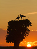 Secretary Bird at Nest  Masai Mara Game Reserve  Kenya