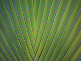 Close-Up of Palm Leaves  Bavaro  Punta Cana  Dominican Republic