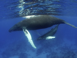 Humpback Whale Mother and Calf  Silver Bank  Domincan Republic