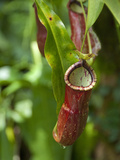 Old World Carnivorous Pitcher Plant  Penang Butterfly Farm  Island of Penang  Malaysia