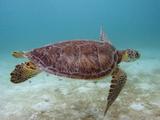Green Turtle  Sian Ka'An Biosphere Reserve  Quintana Roo  Yucatan Peninsula  Mexico