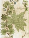Aconitum Seventeenth-Century Engraving in 'Bibliotheca Pharmaceutica-Medica' by J Jacobi Mangeti