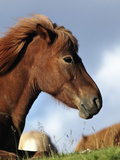 Icelandic Horse Resting  Iceland