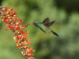 Broad-Billed Hummingbird  Cochise Co  Arizona  Usa