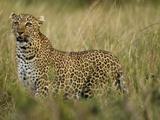 African Leopard Hunting in the Grass  Masai Mara Game Reserve  Kenya