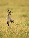 Secretary Bird Hunting for Food  Lower Mara  Masai Mara Game Reserve  Kenya