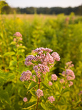 Joe-Pye Weed  Bridgewater  Massachusetts  Usa