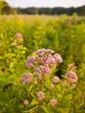 Joe-Pye Weed  Bridgewater  Massachusetts  Usa