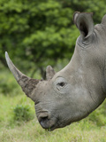 Wild Female African White Rhinoceros  Inkwenkwezi Private Game Reserve  East London  South Africa
