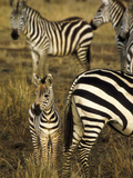Group of Burchell&#39;s Zebra at Waterhole  Masai Mara Conservancy  Kenya