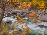 Tumwater Canyon  Maple Tree and Wenatchee River  Wenatchee National Forest  Washington  Usa