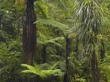 Manginangina Kauri Walk  Puketi Forest  Near Kerikeri  Northland  North Island  New Zealand