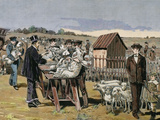 French Chemist and Bacteriologist Vaccination of Sheep Against Anthrax  Agerville  France  1884