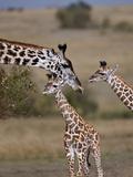 Maasai Giraffe  Masai Mara  Kenya