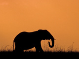Silhouette of Elephant at Sunset  Masai Mara National Reserve  Kenya