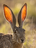 Close-Up of Black-Tailed Jackrabbit  Maverick County  Texas  Usa