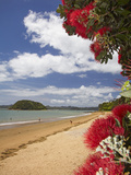 Pohutukawa Tree and Beach  Paihia  Bay of Islands  Northland  North Island  New Zealand