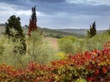 Vineyard Near Montalcino  Tuscany  Italy
