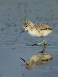 American Avocet Chick  Baylands  Palo Alto  California  Usa